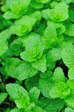 Green mint plants in growth Stock Photo