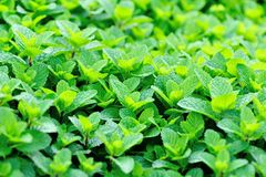 Green mint plants in growth Royalty Free Stock Photo