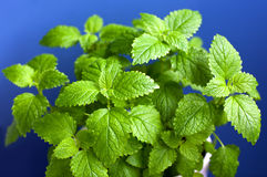Green Mint in a pot Stock Images