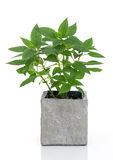 Green mint in a pot Royalty Free Stock Photos