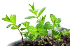 Green mint sprouts in plastic pot Royalty Free Stock Image