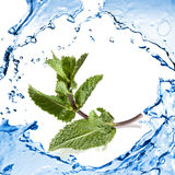 Green mint with water splash Stock Photos