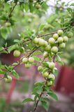 Green mirabelle plums on the tree. Royalty Free Stock Photo