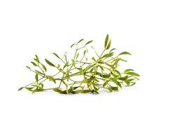 Green mistletoe isolated on white stock image