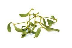 Green Mistletoe with white berries Stock Photography