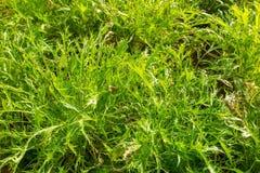 Green Mizuna organic salad vegetable Stock Photo