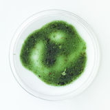 Green mold sample in a petri dish. Aerial view of green fully developed mold sample in a petri dish on a white surface stock photo