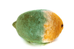 Green moldy lemon citrus fruit isolated. Damaged food. Stock Photo