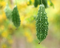 Green Momordica Royalty Free Stock Images