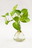 Green Money plant in water Royalty Free Stock Photos
