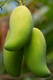 Green mongoes Stock Photography