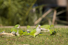 Green Monk Parakeet or Quaker Parot Stock Image