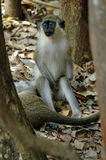 Green monkey. A Green monkey sitting in the shade under trees in Barbados. Species: Chlorocebus sabaeus stock photos