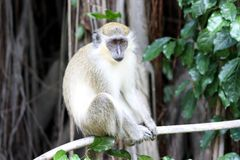 Green monkey Stock Image