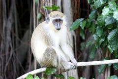 Green monkey Stock Image