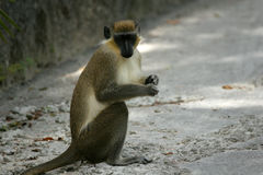 Green monkey. Looking for food royalty free stock image