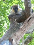 Green Monkey at the Barbados Wildlife Reserve stock photo