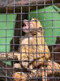 Green monkey in a cage Stock Image