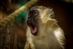 Green monkey Chlorocebus sabaeus with a colorful background royalty free stock photography