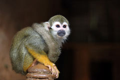 Green monkey looks into the distance while sitting on the dais Stock Photos