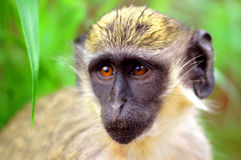 Green monkey in Senegal, Africa Stock Photos