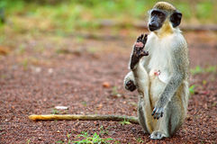 Green monkey in Senegal, Africa Stock Image