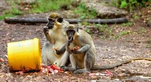 Green monkey in Senegal, Africa Stock Photo