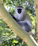 Green monkey Royalty Free Stock Photo