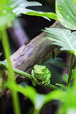 Green monkey tree frog. In forest stock photography