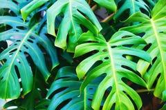 Green monstera leaves stock images