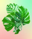 Green monstera leaves Tropical plant vintage toned. Green monstera leaves. Tropical plant. Vintage style toned photo stock image