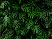 Green monstera philodendron tropical plant leaves vine background, backdrop royalty free stock photo