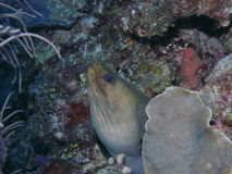 Green_moray royaltyfria foton