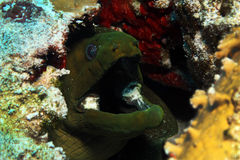 Green Moray Close-up Royalty Free Stock Photo