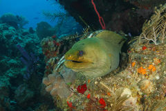 Green Moray on a Coral Reef - Roatan Stock Photos