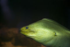 Green moray eel Royalty Free Stock Photos