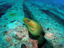 Green Moray eel. This green moray eel at the aqua Zoo was taken at Barracuda Reef off the coast of Dania Beach, Florida stock images