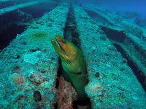 Green Moray eel. This green moray eel at the aqua Zoo was taken at Barracuda Reef off the coast of Dania Beach, Florida Stock Photo