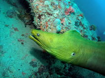 Green Moray Eel. I shot this green moray eel at the bottom of the Sea Emperor (Aqua Zoo) wreck at about 70 feet. It is very friendly to divers stock photo