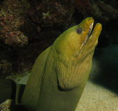 Green moray eel Royalty Free Stock Image