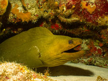 Green moray eel in Cayman. A green moray eel makes his home in a coral head 70 feet below the surface off the western coast of Grand Cayman, in the Cayman Royalty Free Stock Images