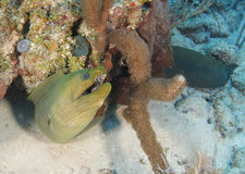 Green moray eel coral reef,roatan,honduras Stock Images