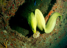 Green Moray Eel-Gymnothorax funebris Royalty Free Stock Photos