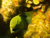 Green moray eel. A small green moray eel peeks out from his home in a coral head off the western coast of Grand Cayman, in the Cayman Islands Royalty Free Stock Photo