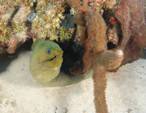 Green moray eel, utila, honduras underwater snake Stock Images