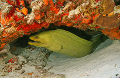 Green Moray (Gymnothorax funebris)-Cozumel Mexico. Green Moray hiding under an overhang on a coral reef in Cozumel Mexico Royalty Free Stock Photo