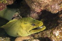 Green moray, Gymnothorax funebris Stock Photos