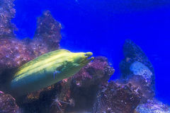 Green moray moray royalty free stock images