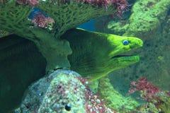 Green moray Stock Photo