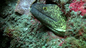 Green moray on the seabed in the wreck. Amazing, beautiful underwater world Bali Indonesia and  life of its inhabitants, creatures and diving, travels with stock video footage